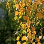 Beautiful autumn leaves of birch tree — Stock Photo #2953214