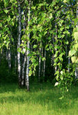 Branch of a birch tree — Stock Photo