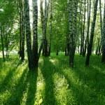 Birch trees and sun — Stock Photo #2971630