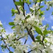 Stock Photo: Spring tree in bloom