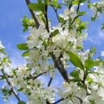 Spring tree in bloom — Stock Photo