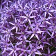 Blossoming purple allium background - Stock Photo