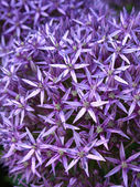 Blossoming purple allium background — Stock Photo