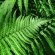 Green fern leafs background - Stock Photo