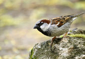 Single sparrow — Stock Photo