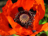 Blooming red poppy close up — Stock Photo