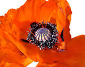 Blooming red poppy — Stock Photo
