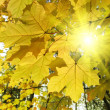Autumn leaves of maple tree and sunlight — Stock Photo