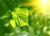 绿色的叶和太阳梁的特写 — 图库照片