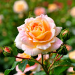 Stock Photo: Blooming rose