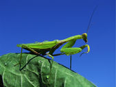 Green mantis — Stock Photo