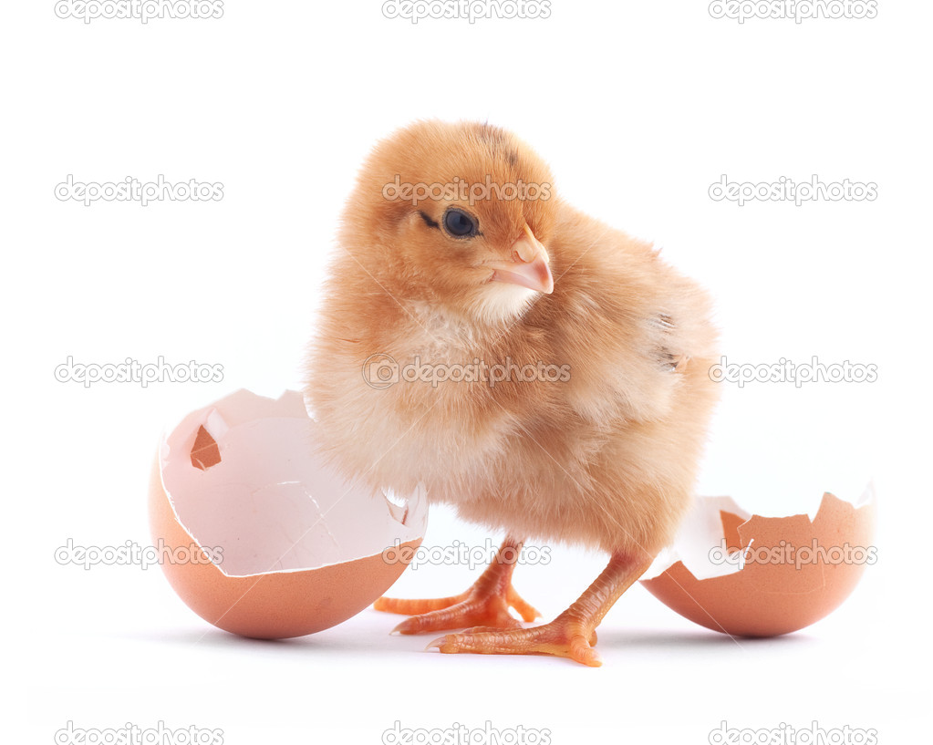 The yellow small chick with egg isolated on a white background — Stock Photo #3573900
