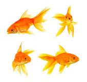 Goldfishes — Stock Photo