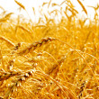 Wheat ears. - Foto Stock