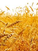 Wheat ears. — Stock Photo