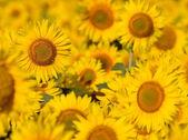 Sunflowers. — Stock Photo