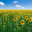 Sunflowers. - Stock Photo