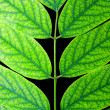 Acacia leaf. - Stock Photo