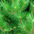 Conifer. — Stock Photo