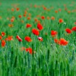 Red poppy flowers. — Stock Photo
