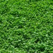 Green grass background. — Photo