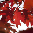 Autumn maple leafs — Stock Photo