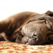 Stock Photo: Shar-pei