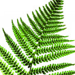 Leaf of fern — Stock Photo #3347262