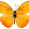 butterfly isolated — Stock Photo #3348940