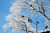 Birds (pigeons) are sitting on a tree in the winter — Stok fotoğraf
