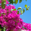 Bougainvillea — Stock Photo #3354961