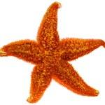 Red starfish close up — Stock Photo