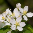 Stock Photo: Flowering branch of cherry –
