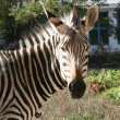 Zebra — Stock Photo #3374314