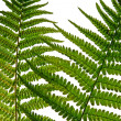 Leaf of fern — Stock Photo #3374661