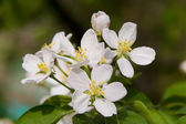 Flowering branch of cherry – — Stock Photo