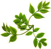 Leaf of tree isolated — Stockfoto