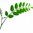 Branch leaf of acacia isolated — Stock Photo