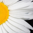 Stock Photo: Flower chamomile close up