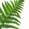 Leaf of fern isolated close up — Stock Photo #3465811