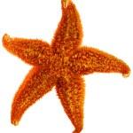 Starfish isolated — Stock Photo