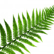 Leaf of fern isolated close up — Stock Photo #3466605