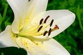 Lily på grön — Stockfoto