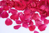 Petals of roses as the background — Stock Photo