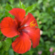 Flower  hibiscus in garden - Stock Photo
