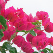 Bougainvillea — Stock Photo #3541772