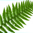 Leaf of fern isolated close up — Stock Photo #3542123