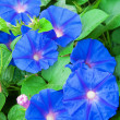 Flowers of blue bindweed - Stock Photo