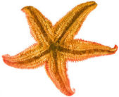 Starfish isolated — Stock Photo