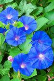 Flowers of blue bindweed — Stock Photo